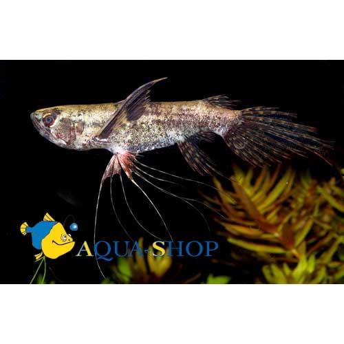 Пантодон Бухгольца (Рыба-бабочка)