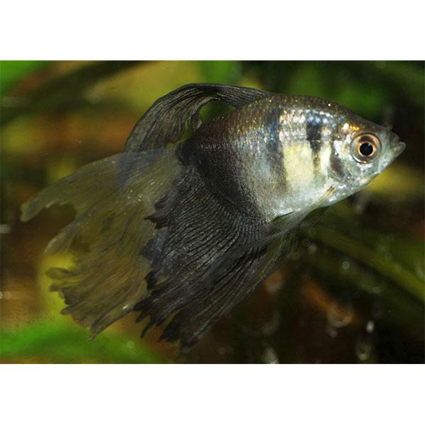 Аквариумные рыбки  фото и названия с описаниями