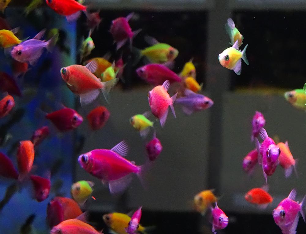 Тернеция цветная флуоресцентная ксанторная