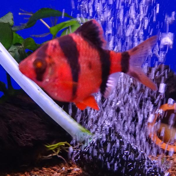 Барбус суматранский флуоресцентный красный