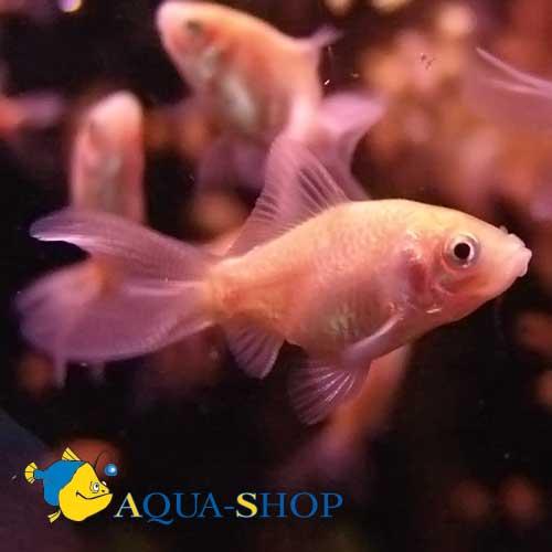 Золотая рыбка кормовая