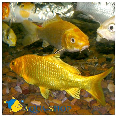Карп-кои желтый
