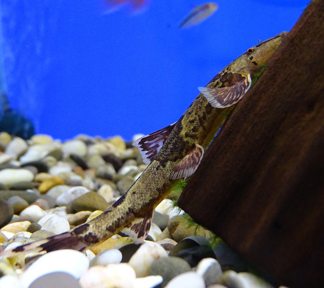 Хомалоптера гекконовая