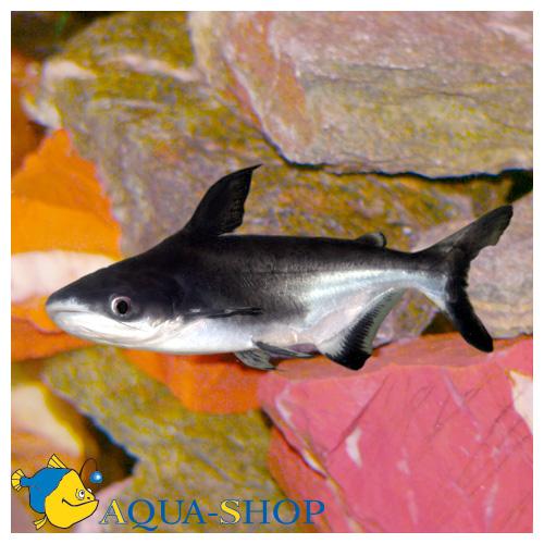 Содержать акульих сомиков лучше в большом аквариуме объёмом от 300 литров.