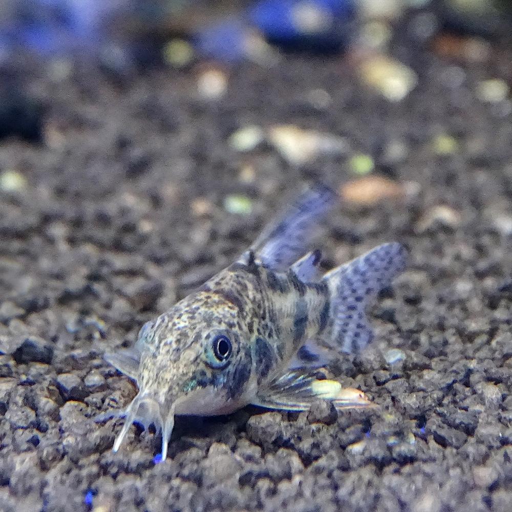 Коридорас крапчатый (соломенный) длинноплавничный