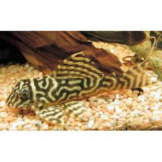 """Гипанциструс """"Желтый тигр"""" L333"""