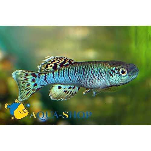Нотобранхиус Эггерса - голубая форма