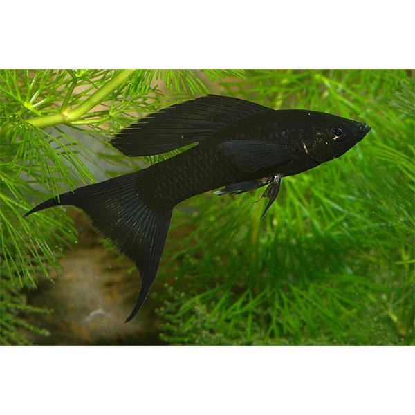 Моллинезия высокоплавничная черная (Самцы)