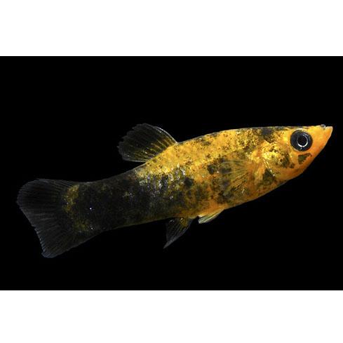 Моллинезия желто-черная лирохвостая