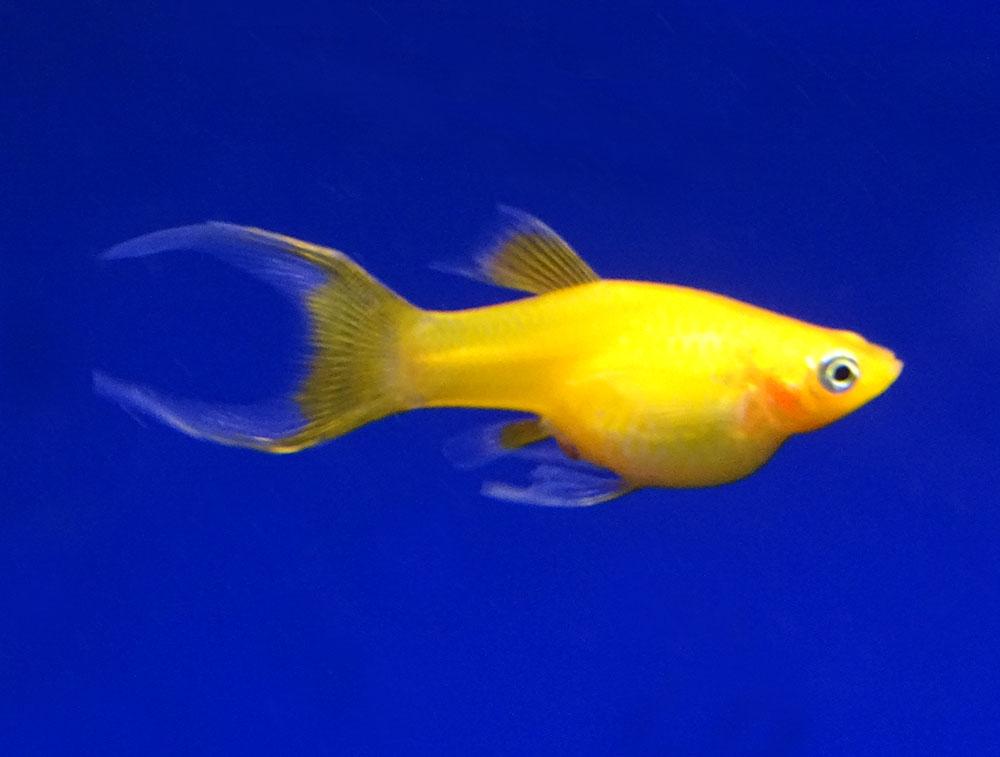 Моллинезия желтая лирохвостая