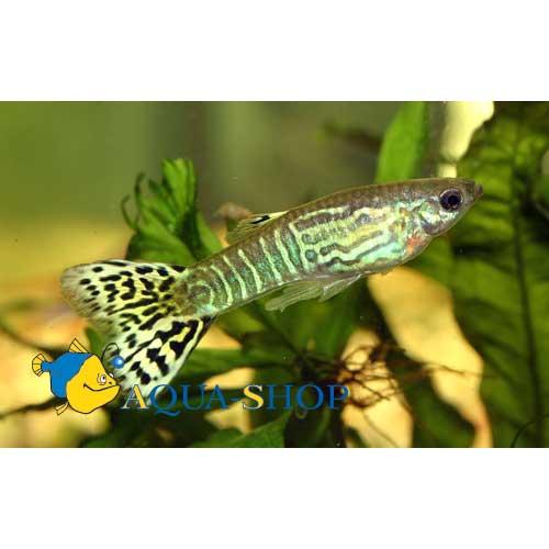 Гуппи кобра зеленая