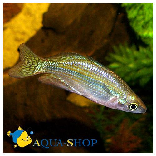 Меланотения Маккалоха (Радужная рыбка)