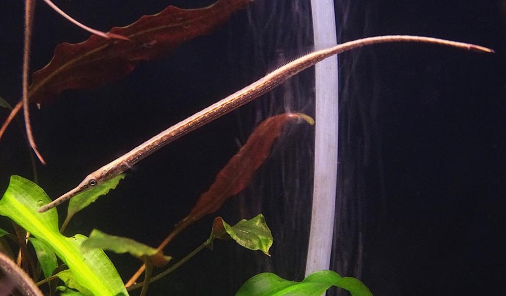 Игла пресноводная Microphis brachyurus