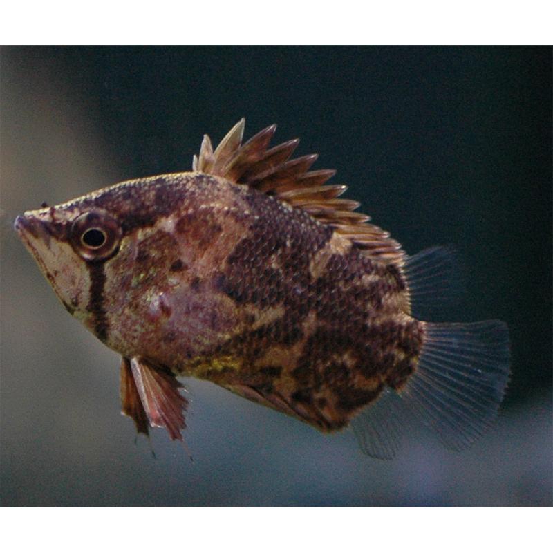 Рыба-обрубок африканская, Африканская рыба-лист