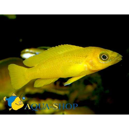 Лампрологус апельсиновый (Лелеупи)