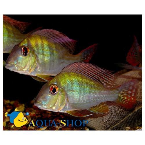 Геофагус суринамский
