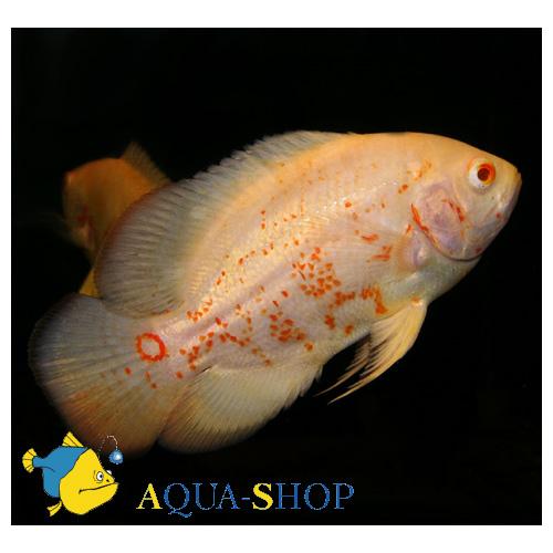 Астронотус-оскар альбинос