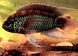 Наннакара аномала (Наннакара золотоглазая)