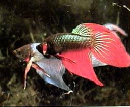Петушки сиамские разные - самцы (Бойцовые рыбки)