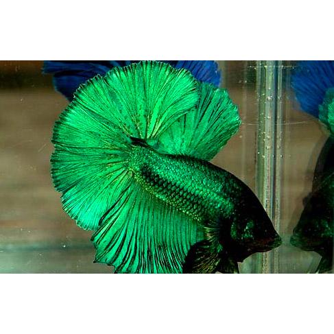 Петушок сиамский зеленый - самец