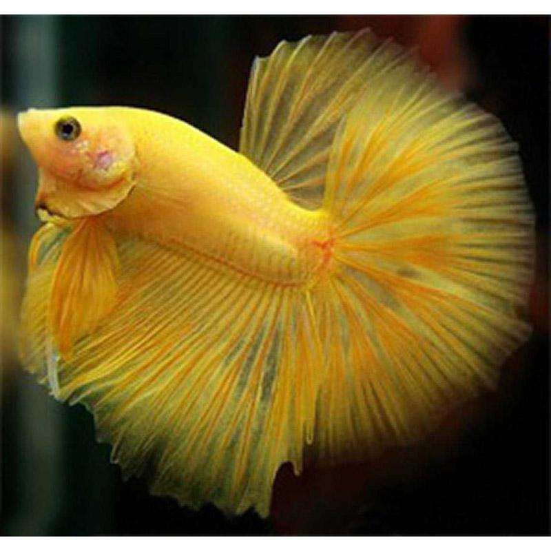 Рыбки петушки цвета