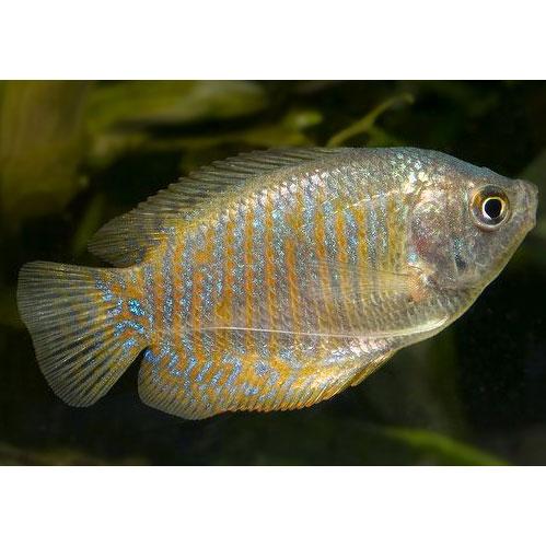 Лялиус коралловый - самка