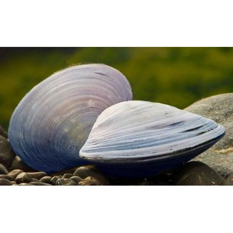 Моллюск двустворчатый пресноводный