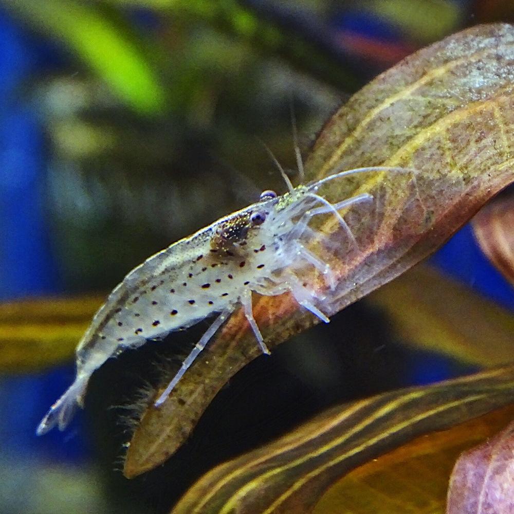 Креветка пресноводная Амано