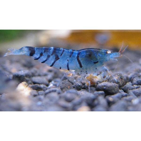 Креветка тигровая Синий жемчуг
