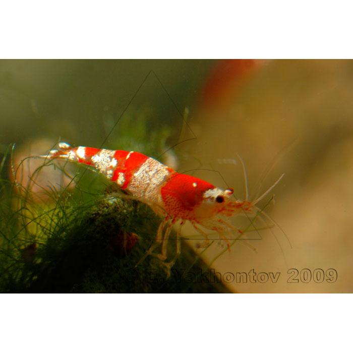 Креветка Красный кристалл