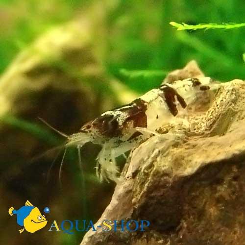 Креветка пресноводная шмель