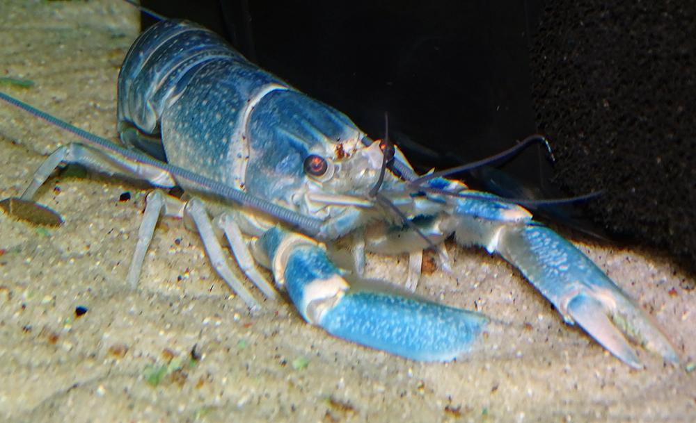 Рак-херакс красноклешневый (синий)
