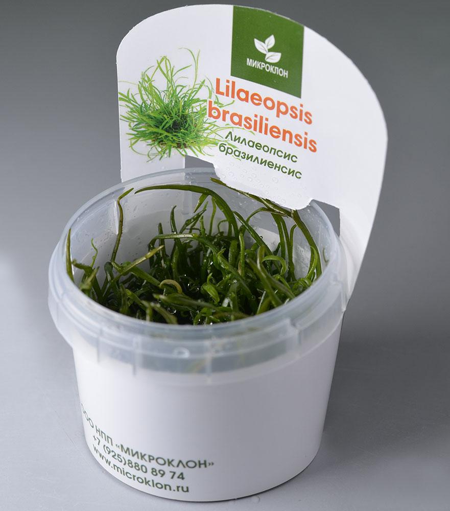 Лилеопсис бразильский меристемный