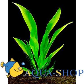 Анубиас ланцетовидный (лансеолата)