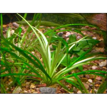 Эхинодорус нежный, Э. травянистый (пучок)