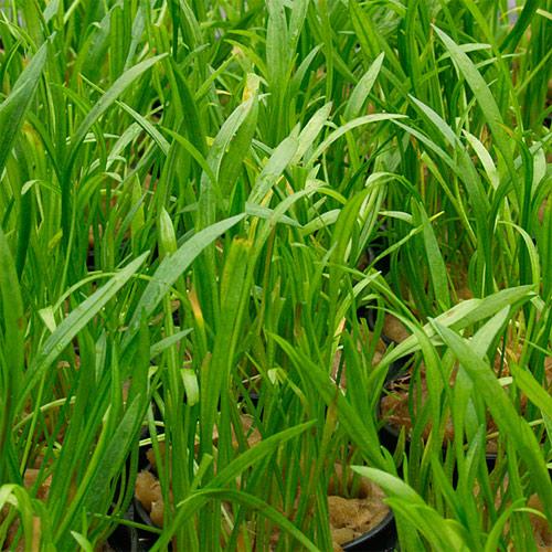 Эхинодорус нежный, Э. травянистый в горшке