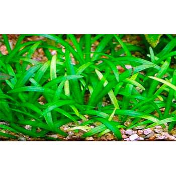 Эхинодорус нежный карликовый в поддоне