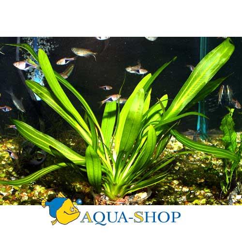 Эхинодорус уругвайский (Э. Горемана) - зеленый