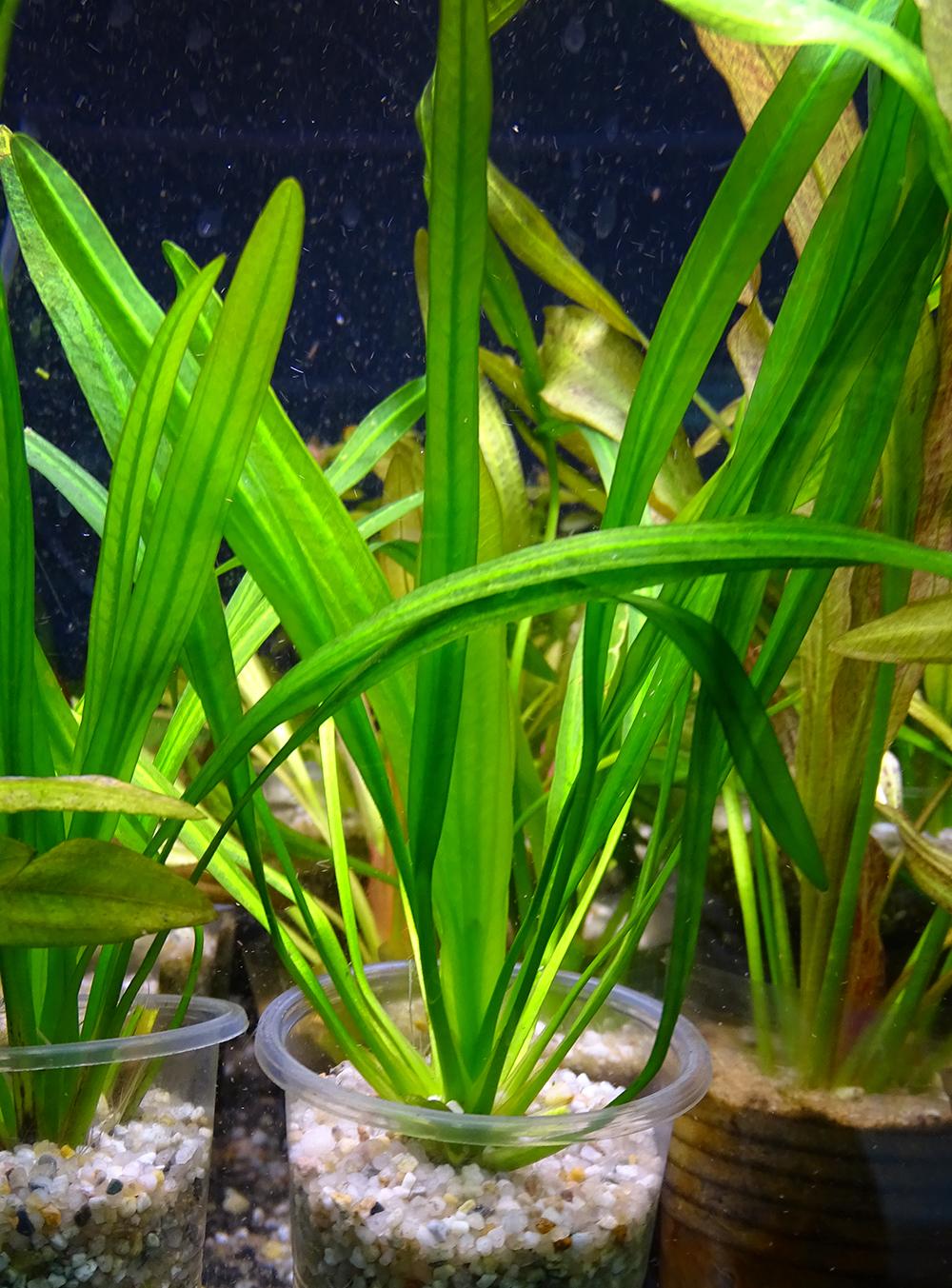 Эхинодорус уругвайский (Э. Горемана) - зеленый в горшке