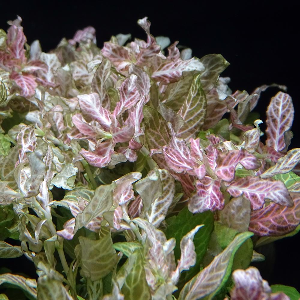 Гигрофила многосемянная Ярко-розовый