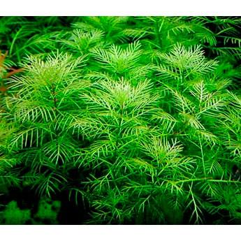 Перистолистник матогросский зеленый