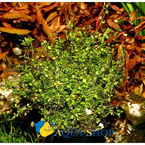 Микрантемум Micranthemum sp.
