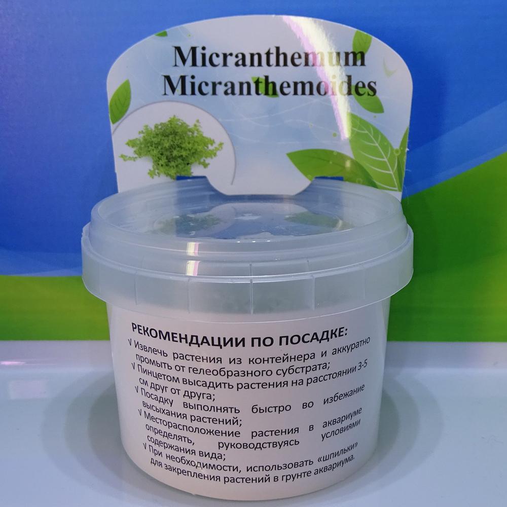 Микрантемум микрантемоидес меристемный