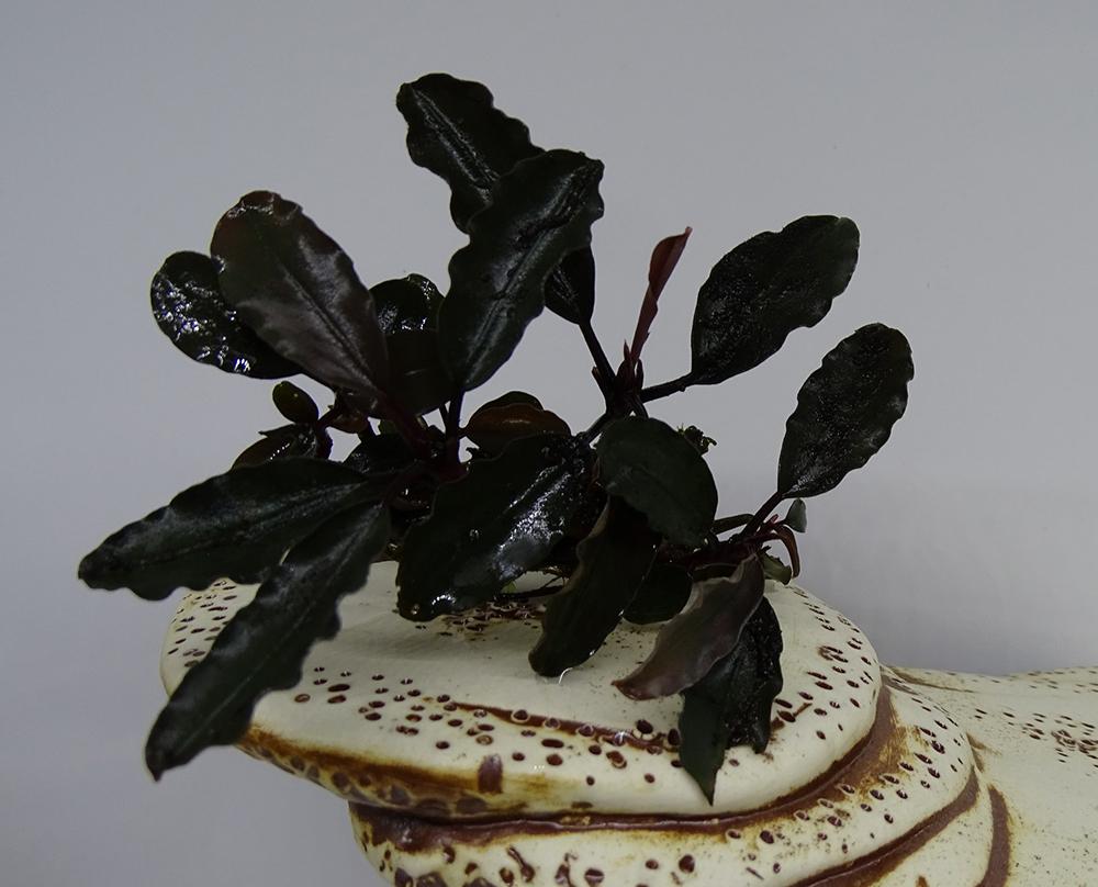 Буцефаландра Чёрная Роза