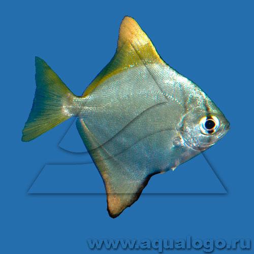 Монодактил серебряный (Серебряная ласточка) - морской
