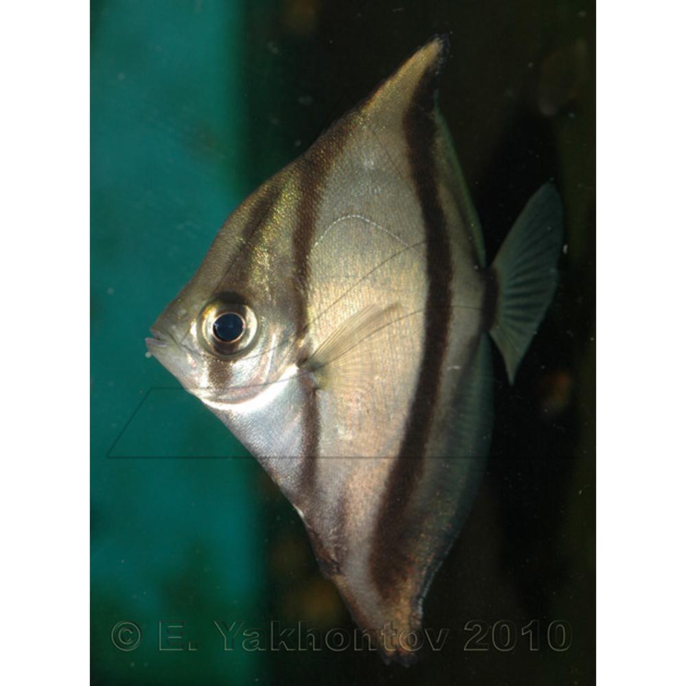 Монодактил темный (Полосатая ласточка) - морской
