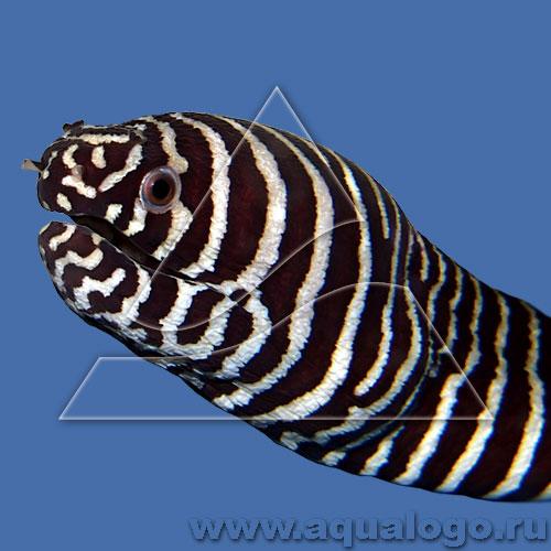 Гимномурена-зебра