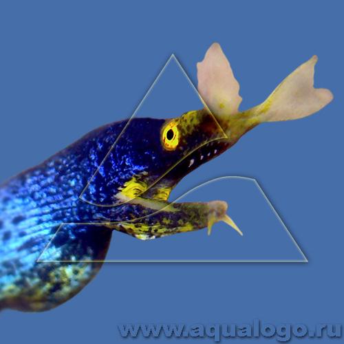 Риномурена синяя (самец)