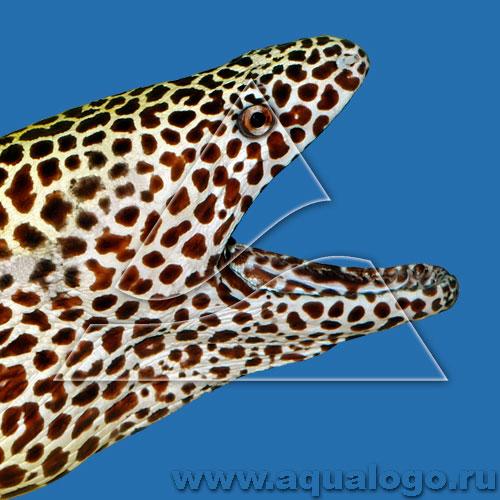Гимноторакс леопардовый (Ячеистая мурена)