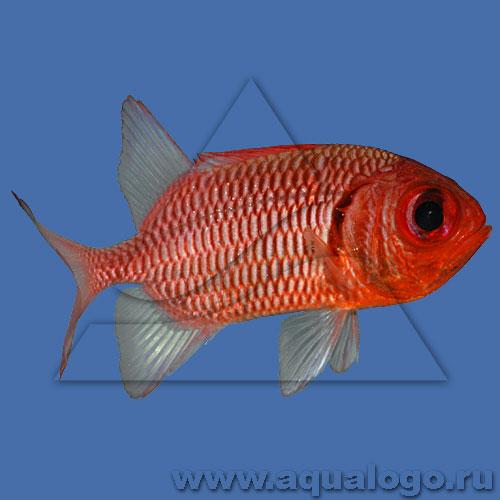 Рыба-солдат